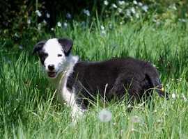Beautiful Collie puppy.