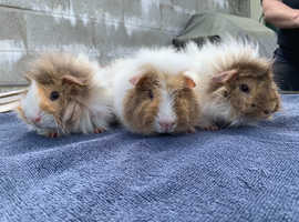 3 MALE BABY GUINEA PIGS.