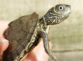 Mississippi maps turtles