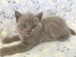 Lilac Tabby BSH Kitten