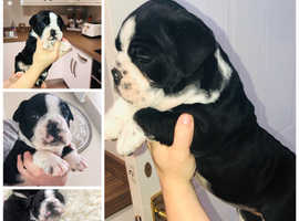 Bulldog pups looking for their loving new homes