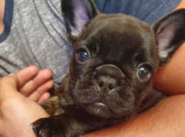 Ready this week female french bulldogs