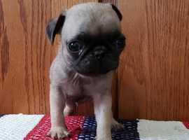 Stocky Fawn KC Register Pug Puppies Now Ready