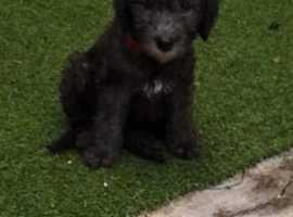 Blue beddlington pups