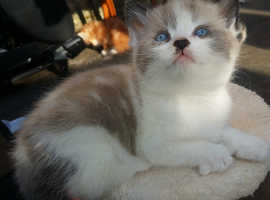Gorgeous little kitten for sale.