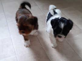 KC Reg Lhasa Apso puppies