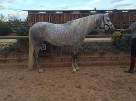 stunning Andalusian mare