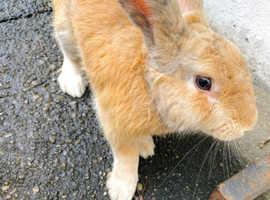 fauve de bourgognes rabbits