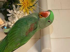 Beautiful young Alexandrian parrot