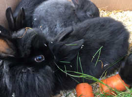 Pure bred baby lionheads for sale