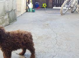 Bedlington terrier puppies.kc registered.CT CLEAR