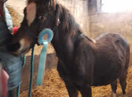 Cob colt looking for a new home