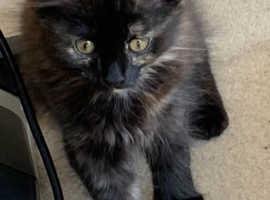 Adorable Registered Pedigree Siberian Kittens Available!
