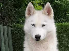 Siberian Husky puppies KC registered