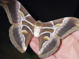 Eri Silk Moth Caterpillars