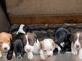 Beautiful puppys well look after