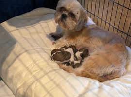 Beautiful shih tzu puppy's forsale