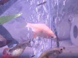 5 Albino barb fish