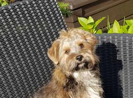 Biewer Carrier Yorkshire Terrier