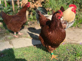 Point of lay Colombian blacktail chickens