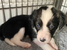 Only 1 DOG & 1 BITCH  LEFT IN THE LITTER ! ADORABLE WELSH COLLIE / POODLE CROSS