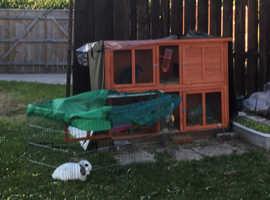 2x mini lops and rabbit hutch