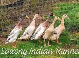 Trio Saxony Indian Runner Ducks