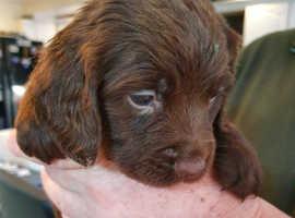 Sprocker pup