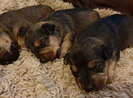 Working lakeland puppies