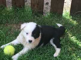Beautiful border collie puppies for sale