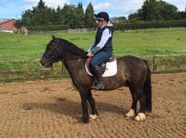 Rocco 13.2 8 year old gelding chocolate dun