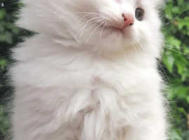 Half Turkish angora male kittens 9 weeks