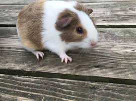 3 beautiful guinea pig sows