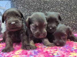 Miniature snauzcher pups