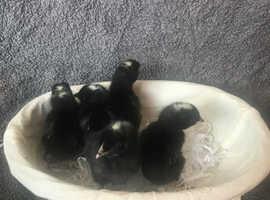 Last few hybrid female vaccinated chicks