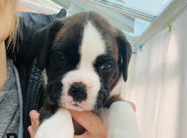 Beautiful 3/4 boxer pups for sale