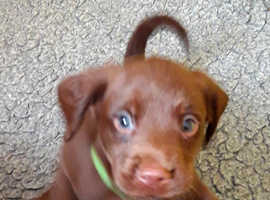 Beautiful litter of springador puppies for sale