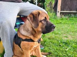 4 month old Caucasian shepherd X french mastiff
