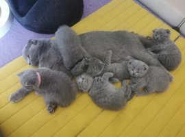 Lovely Scottish folds and straight kittens