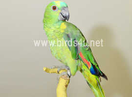 Baby Blue Fronted Amazon Talking Parrot,15