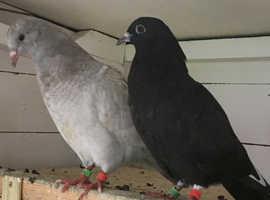4 Fancy Pigeons for sale