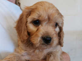 Beautiful F1 Cavapoo puppies from HEALTH TESTED PARENTS.