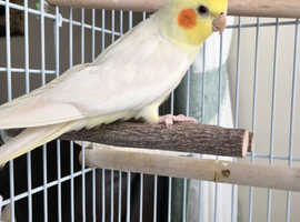 Cockatiel Lutino with cage & stand