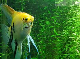 Koi Angel fish home raised/bred
