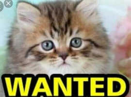 Looking for a female kitten