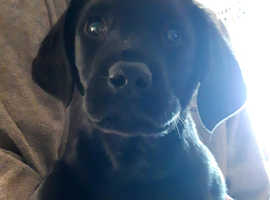 Fantastic kennel Club registered litter of Labrador puppies pups
