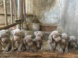 Stunning silver Weimaraner pups
