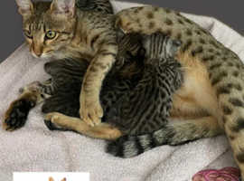 Adorable F6 sbt savannah kittens waiting for there forever homes