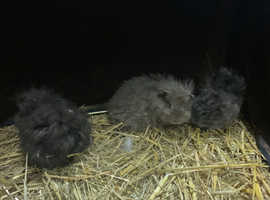 3 Stunning texel Guinea pigs female / male