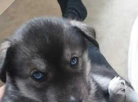 Agutie female pups ready jan